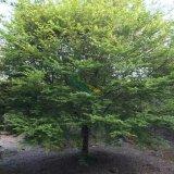 鸡爪槭15公分
