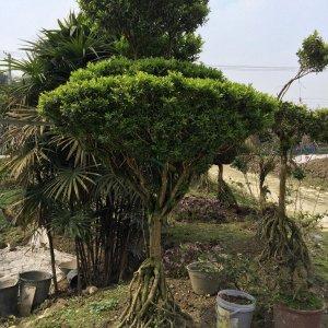 花木首页 全部分类 绿化苗木 常绿灌木 大叶黄杨 > 提根黄杨
