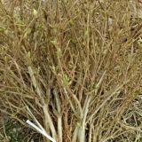 树型四季金银花苗