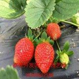 红颜草莓甜宝草莓