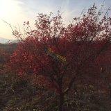 日本红枫8公分