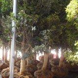 丹桂树苗多少钱一棵 江苏丹桂树价格