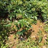 20公分高 鸭脚木(鹅掌柴)袋苗