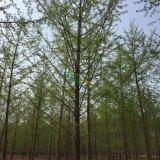 15公分银杏实生树