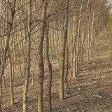 刺槐树8公分至15公分