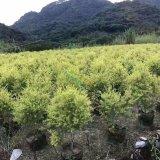 1米高黄金宝树