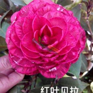 精品红叶贝拉茶花苗庭院花卉植物茶花盆栽图片