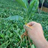 非洲茉莉扦插苗