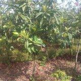 5公分枇杷树