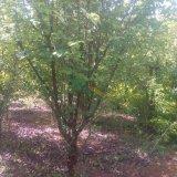 9公分木瓜树