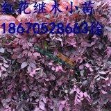 红花继木小苗供应 绿化小苗价格