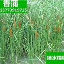 水生花卉植物 香蒲苗、香蒲草、水烛、蒲菜 蒲棒