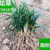 正宗日本矮麦冬草 玉龙草 四季常青长不高 耐践踏的