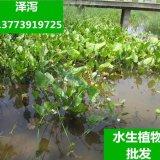 水培多年生宿根植物 泽泻-种苗/水生覌叶植物