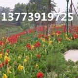 美人蕉种根庭院工程绿化苗当年开花