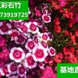 五彩石竹 花卉 观赏花卉阳台庭院绿植