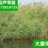 芦苇根芦苇苗芦苇植物水生植物湿地绿化公园造景