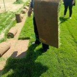 草皮常年出售草坪,早熟禾