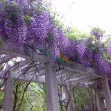 紫藤树苗盆栽