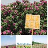 基地直供四季玫瑰营养钵苗