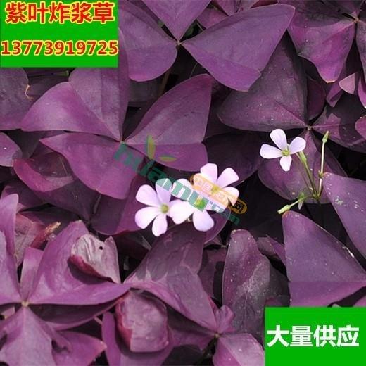 紫叶草紫蝴蝶 紫叶酢浆草