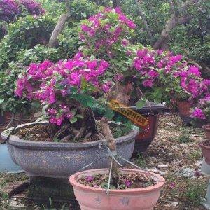 00 地区:福建 漳州          分类:绿化苗木  常绿灌木 三角梅 等级