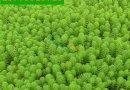 水草包邮狐尾藻大聚藻轮叶黑藻苦草眼子菜沉水植物活水草