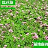 红花草盆栽花卉三叶草苗子多年生庭院地被花