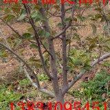 3-5公分梨树