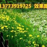 水生植物 绿化 黄菖蒲 水菖蒲 坏境绿化 挺水植物