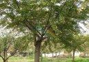 白果树(银杏)