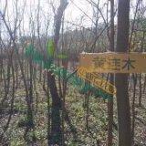 优质8公分黄连木