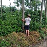 广西木棉树