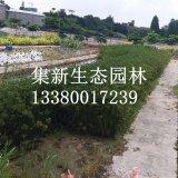 纸莎草30公分基地直销,批发价格,广东水生植物观赏草基地供货
