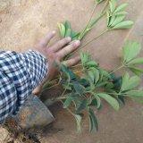 盆栽鸭脚木
