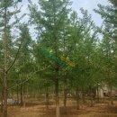1-60公分银杏树
