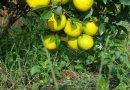 早熟脐橙苗