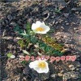 白芍苗 赤芍种子