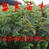 山西苹果树苗