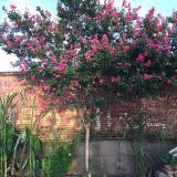 四川泸州高杆紫薇