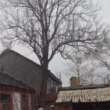 30年树龄楸树