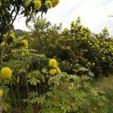 黄金熊猫树