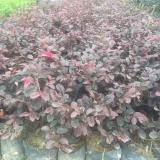 高25-30公分红花继木