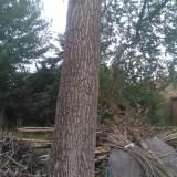 50年榆树2棵