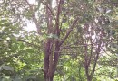15公分大叶女贞二级树