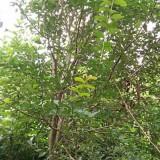 13公分大叶女贞一级树