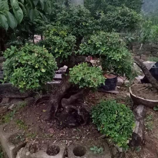 姜子木古树盆景