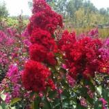 红火箭 紫薇