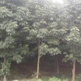 各规格七叶树