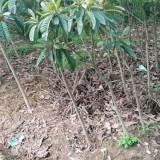 各规格枇杷树